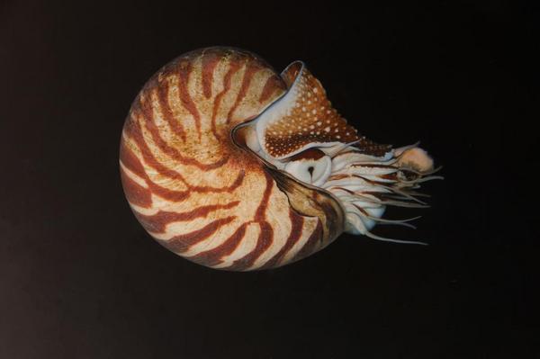 Nautilus pompilius 00002