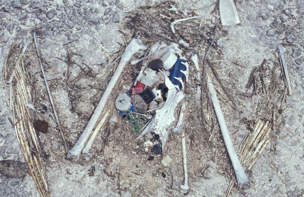 Albatrosskelet med plastik   Forest   Kim Starr USGS  Wikimedia Commens