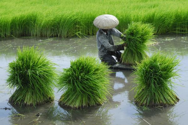 Risproduktion   Pick   shutterstock