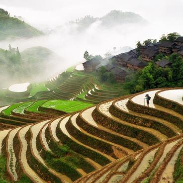 Risdyrkning i Kina