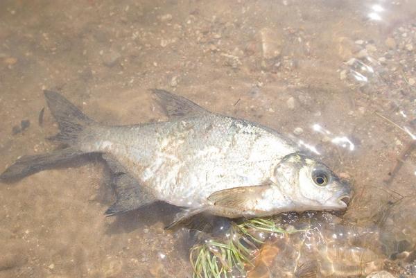 Doeende fisk   COLOURBOX1998489